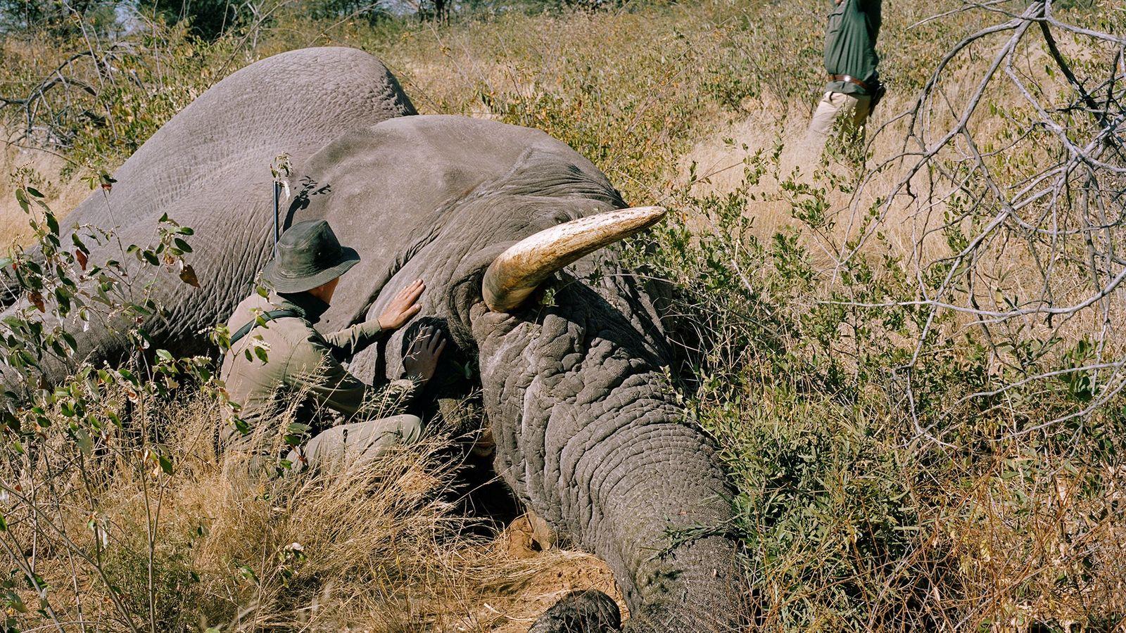 Ein deutscher Jäger erlegte in Namibia diesen alten Elefantenbullen. Schon länger wird eine Debatte darum geführt, ...