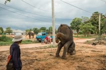 Ein Mahut übt mit einem jungen Elefanten den Rüsselstand. Sobald der Elefant eines Mahuts drei Tricks ...
