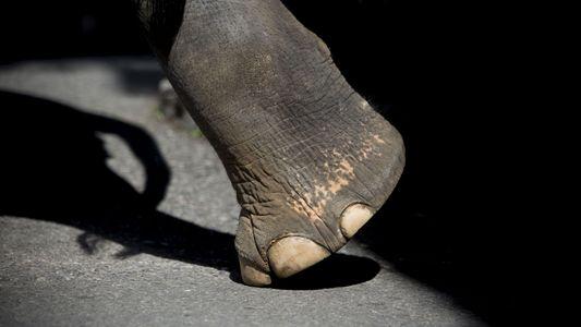 Tod eines Elefantentrainers verdeutlicht Haltungsproblematik in Thailand