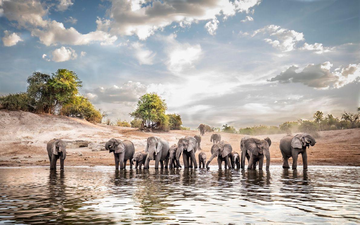 """Durstige Elefanten waten in den Chobe in Botswana, wo von Mai bis Oktober Trockenzeit herrscht. """"Die ..."""