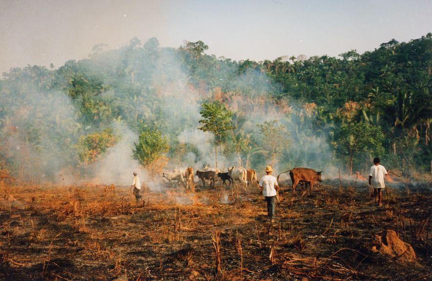 Brandrodungen in der brasilianischen Amazonasregion finden oft für die Ausweitungen landwirtschaftlicher Flächen wie hier für Viehzucht ...