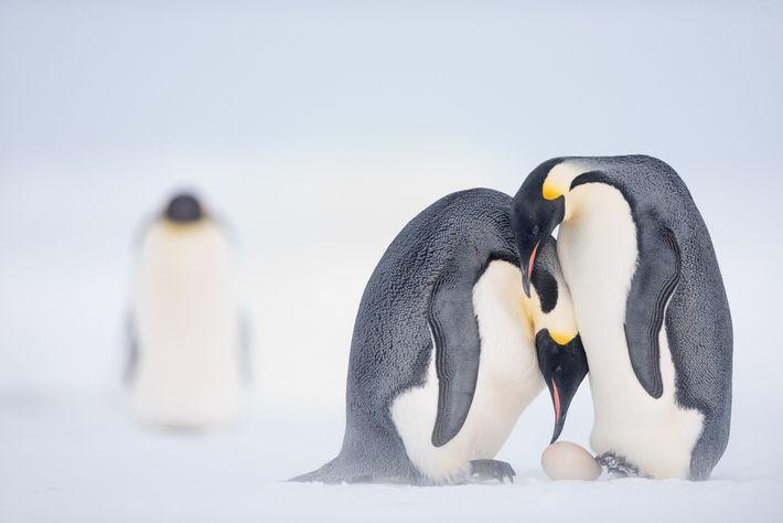 Bevor es zu einer zweimonatigen Jagd im Meer aufbricht, hilft ein Kaiserpinguinweibchen seinem Partner dabei, ihr ...