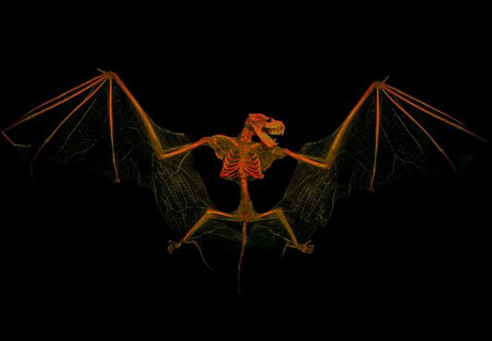 Die Große Braune Fledermaus kann eine Flügelspannweite von mehr als 30 Zentimetern haben.