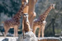 Erdmännchen im Tierpark Hellabrunn