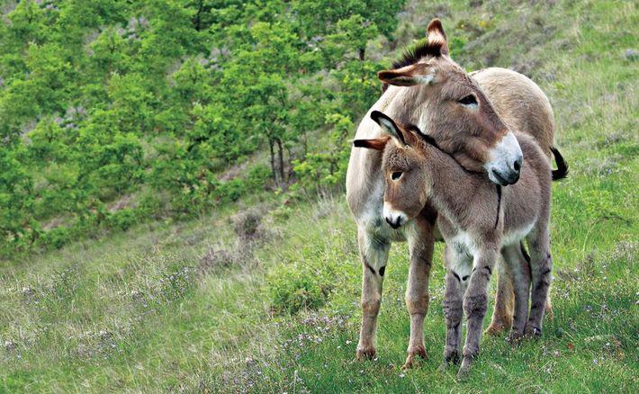 MUTTER UND KIND Eselmütter und ihre Fohlen haben eine enge Bindung zueinander. Die Fohlen werden im Alter ...