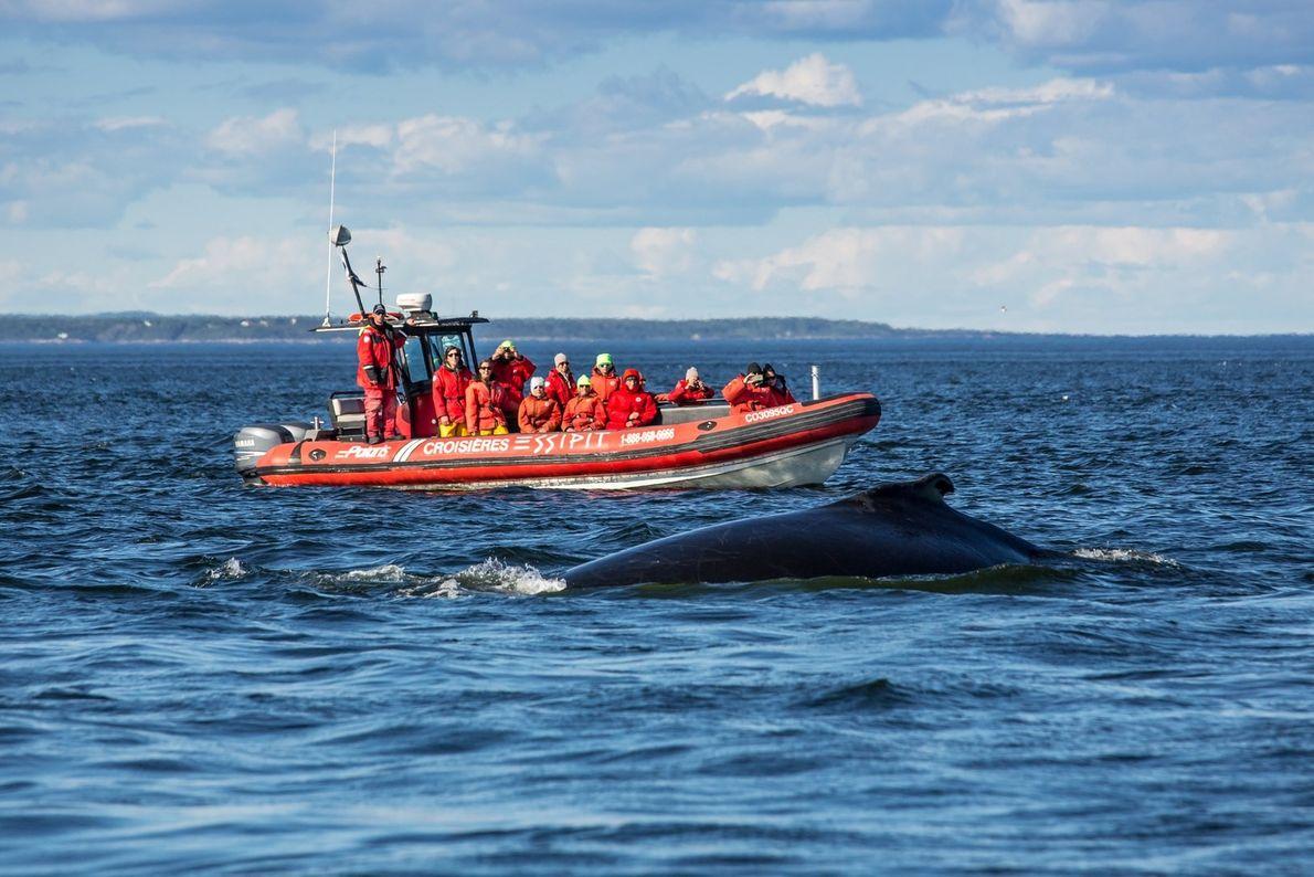 Bei den Walbeobachtungstouren von Essipit kommen ausschließlich motorbetriebene Schlauchboote zum Einsatz. So können Besucher den Meerestieren ...
