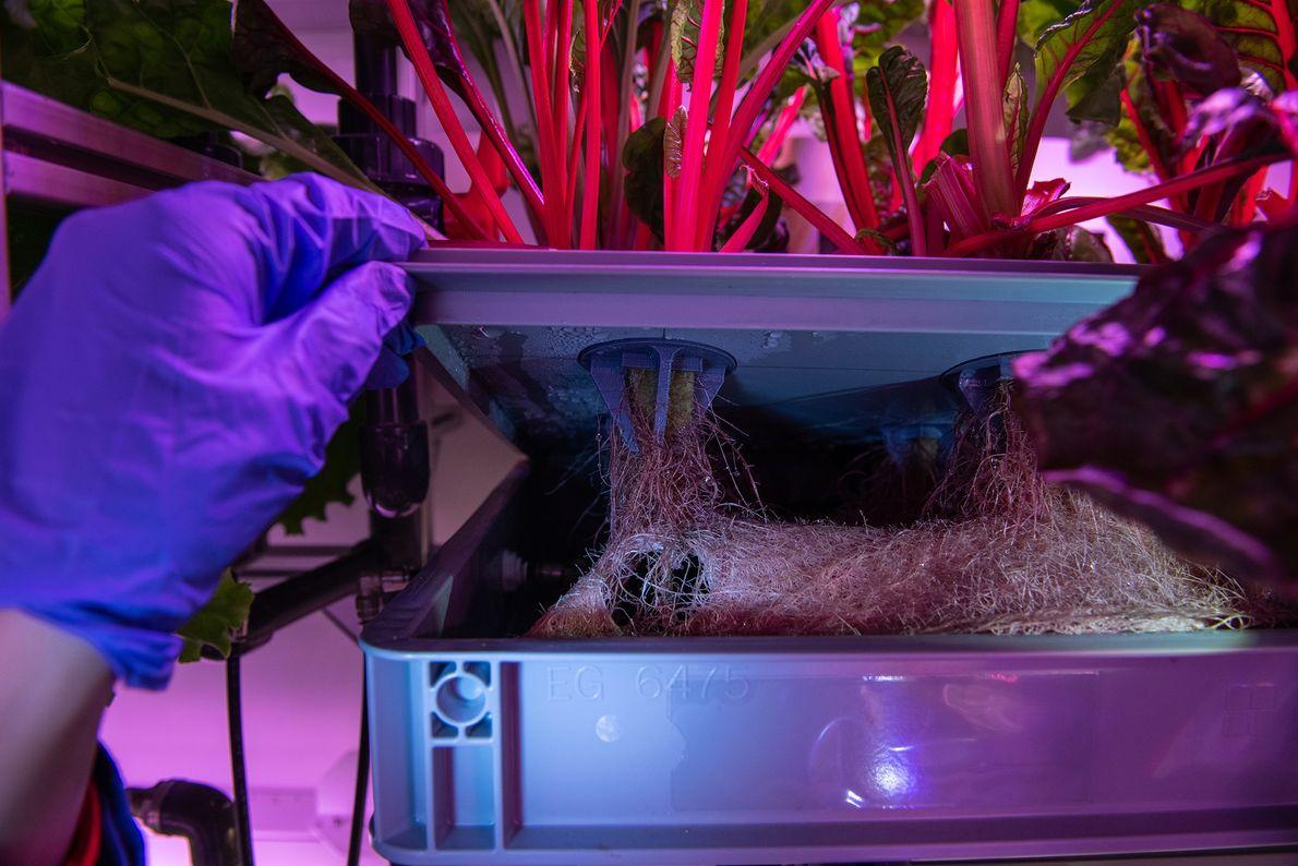 Im Gewächshaus werden die Mangoldwurzeln inspiziert. Sämtliche Pflanzen werden dort aeroponisch angebaut.