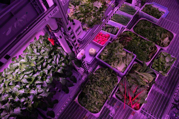 Geerntetes Gemüse und Salat werden auf der Neumayer-Station in Kisten und Regalen gelagert.
