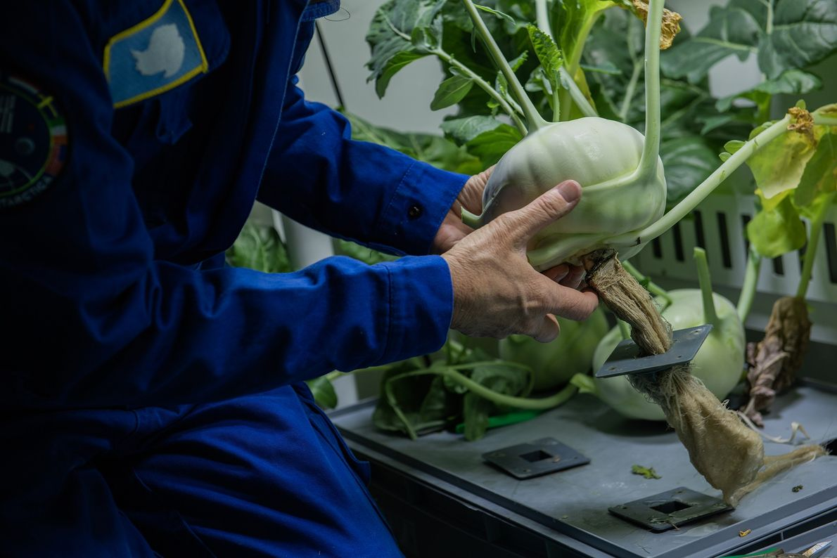 Anna-Lisa Paul erntet im Gewächshaus Kohlrabi und ermöglicht einen Blick auf die Wurzeln der Pflanze.