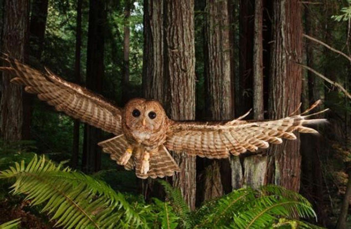 In einem Wald von jungen Mammutbäumen schwebt dieser beringte Fleckenkauz geradewegs auf einen Köder zu, den …