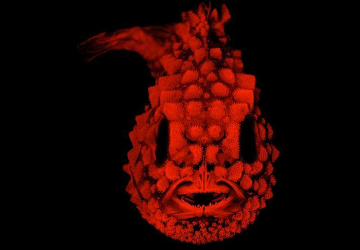 Die Seehasenart Eumicrotremus orbis ist ein circa 2,5 Zentimeter langer Fisch, der mit harten Tuberkeln übersät ...