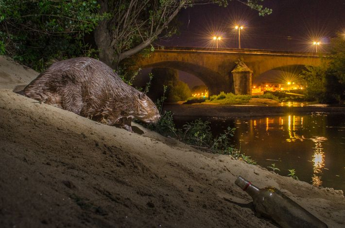 Ein Europäischer Biber läuft an einem Flussufer im französischen Grenoble entlang. Er gehört zu den wenigen ...