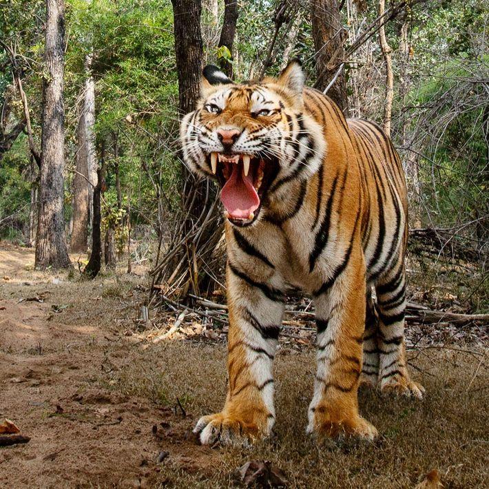 Im Bandhavgarh-Nationalpark im indischen Bundesstaat Madhya Pradesh flohen die männlichen Tiger vor dem Kameraauto. Dieses Tier ...