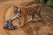 Dieser weibliche Königstiger hatte vor dem Kameraauto keine Angst. Allerdings gefiel es ihm wohl nicht, dass ...