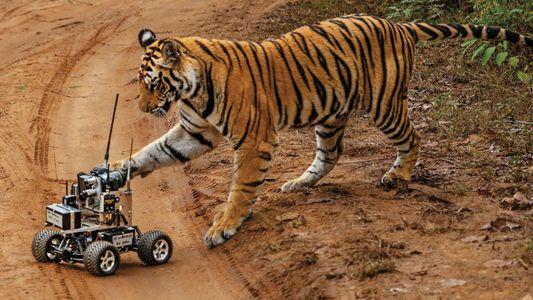 Bitte lächeln: Der perfekte Tiger-Schnappschuss