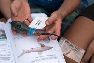 Cramp hält einen der Peilsender, die sie zwei Haiarten einsetzen wird, welche lange Strecken zurückzulegen pflegen. ...