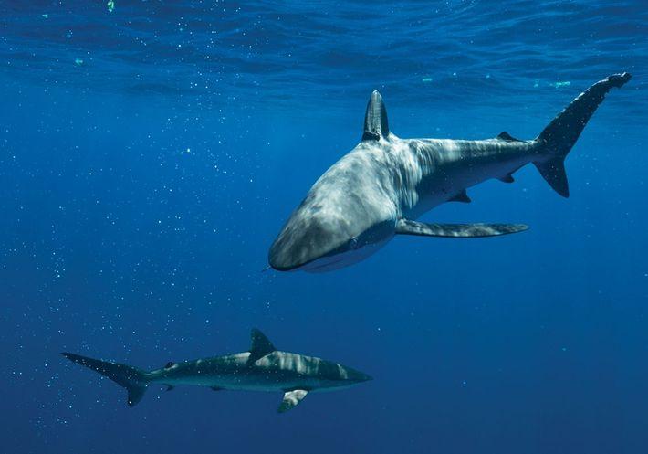 Seidenhaie (hier vor den Bahamas fotografiert) gehören zu den Arten, die rund um die Cook-Inseln getötet ...
