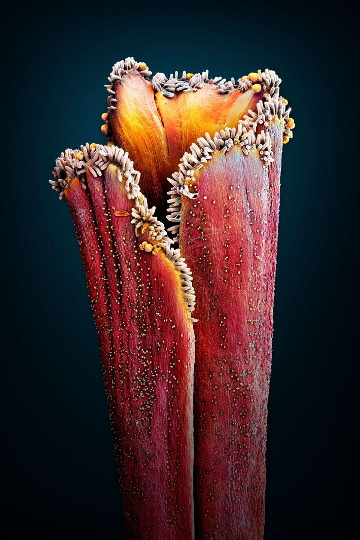 SAFRAN (Crocus sativus):