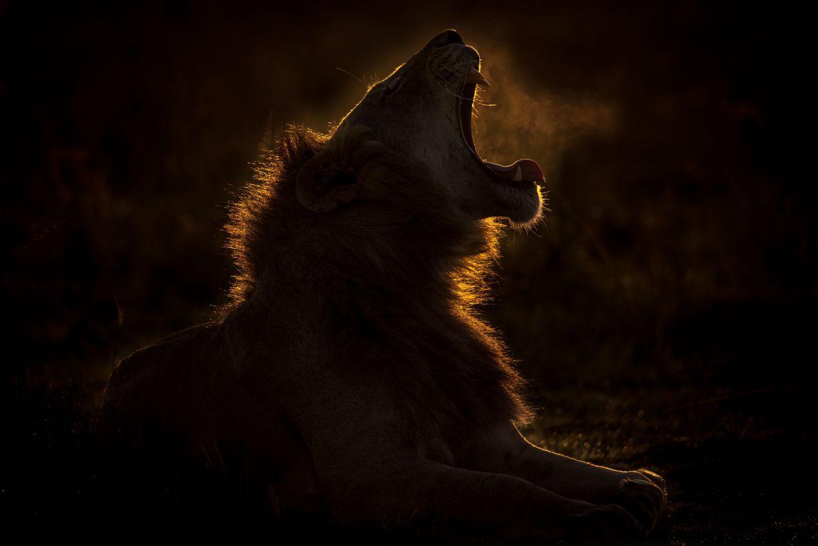 Ein Löwe gähnt am frühen Morgen in der kenianischen Masai Mara. Das Naturschutzgebiet ist weltbekannt für ...