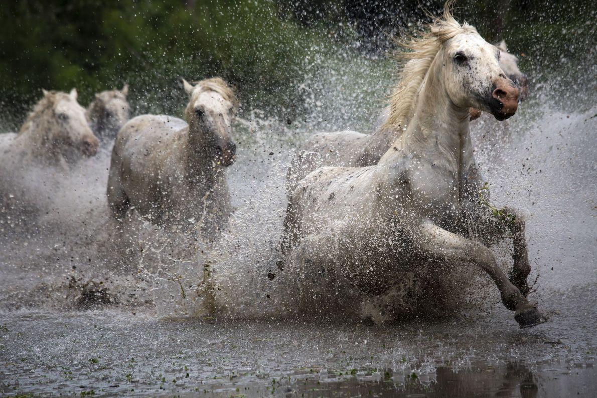 Wilde Camargue-Pferde