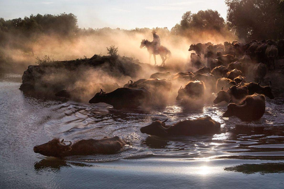 Cowboy mit Wasserbüffeln in der Türkei