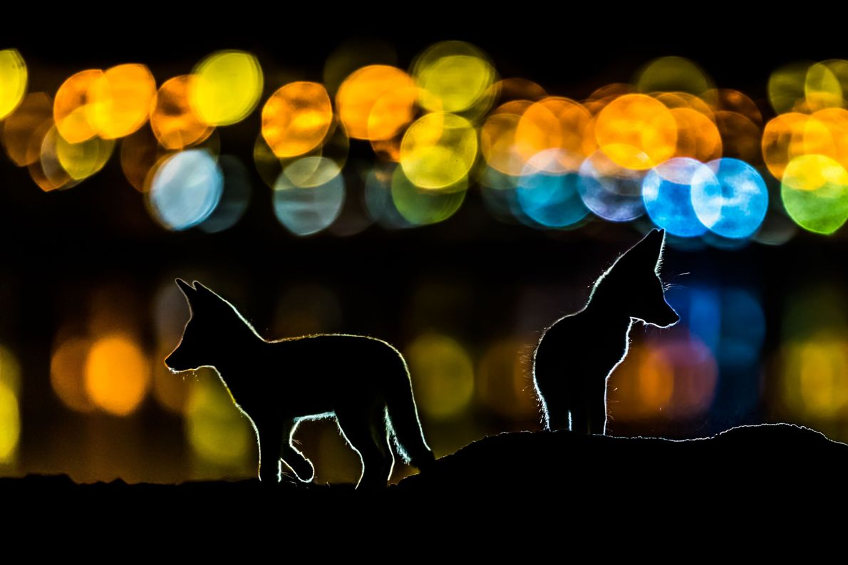 Nachtfüchse