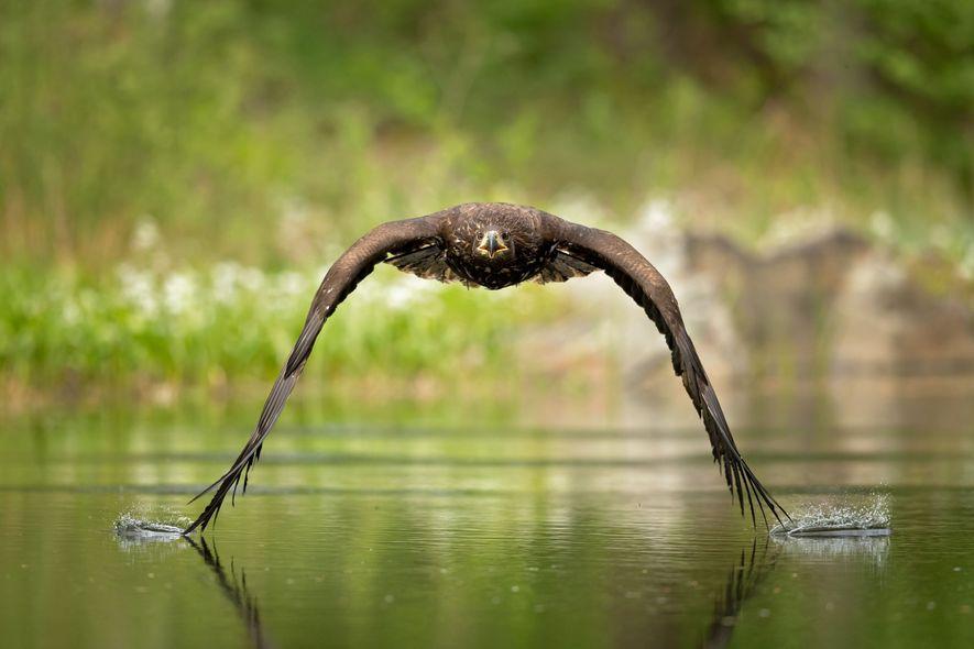 Ein Seeadler fliegt über einen Teich in Tschechien. Seeadler gehören mit einer Flügelspannweite von bis zu ...