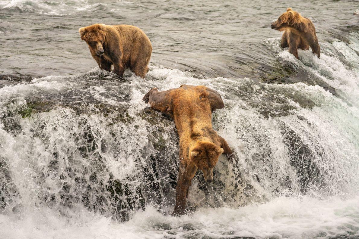 Ein Braunbär bei der Lachsjagd in Alaska