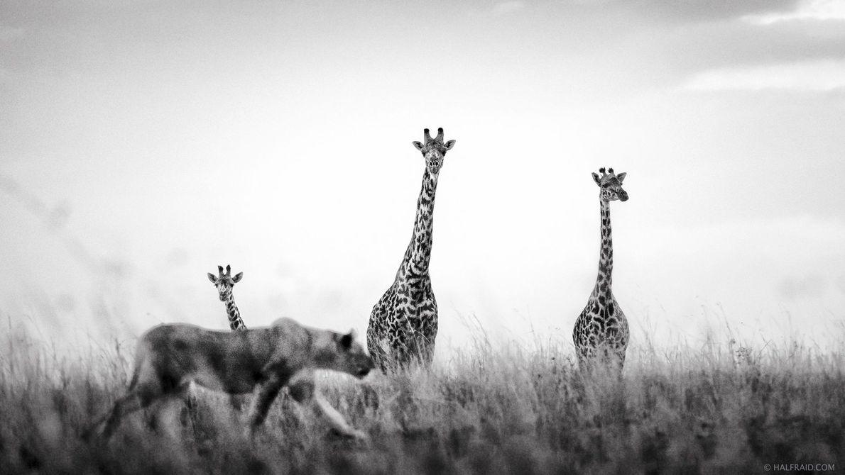 Eine Löwin in der Masai Mara bekommt auf der Jagd unerwartete Gesellschaft von drei neugierigen Giraffen