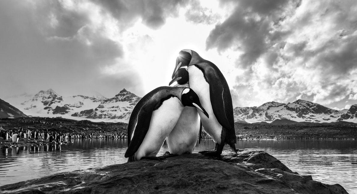 Auf Südgeorgien ruhen sich drei Pinguine auf einem Felsen aus