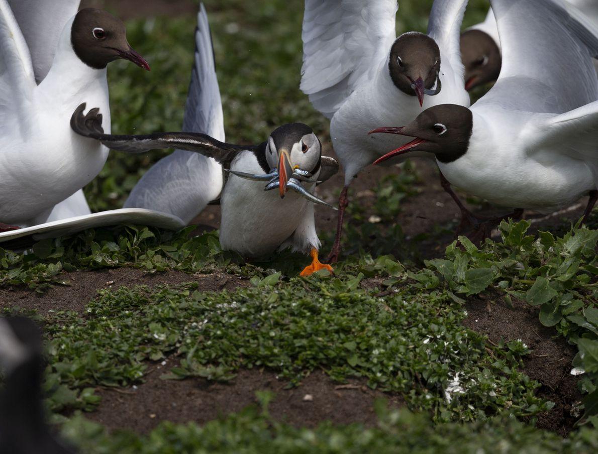 Auf den Farne Islands muss ein Papageitaucher mit einem Schnabel voller Aale einen Spießrutenlauf durch eine ...