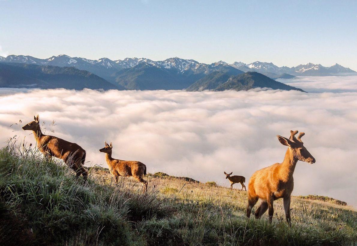 Eine Herde Hirsche im Olympic National Park, USA
