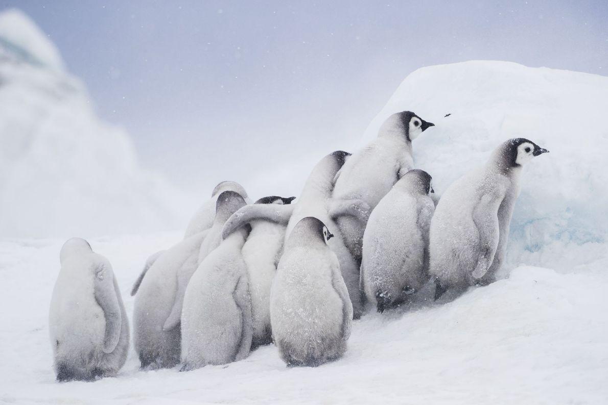 Küken von Kaiserpinguinen kuscheln sich in der Antarktis zusammen