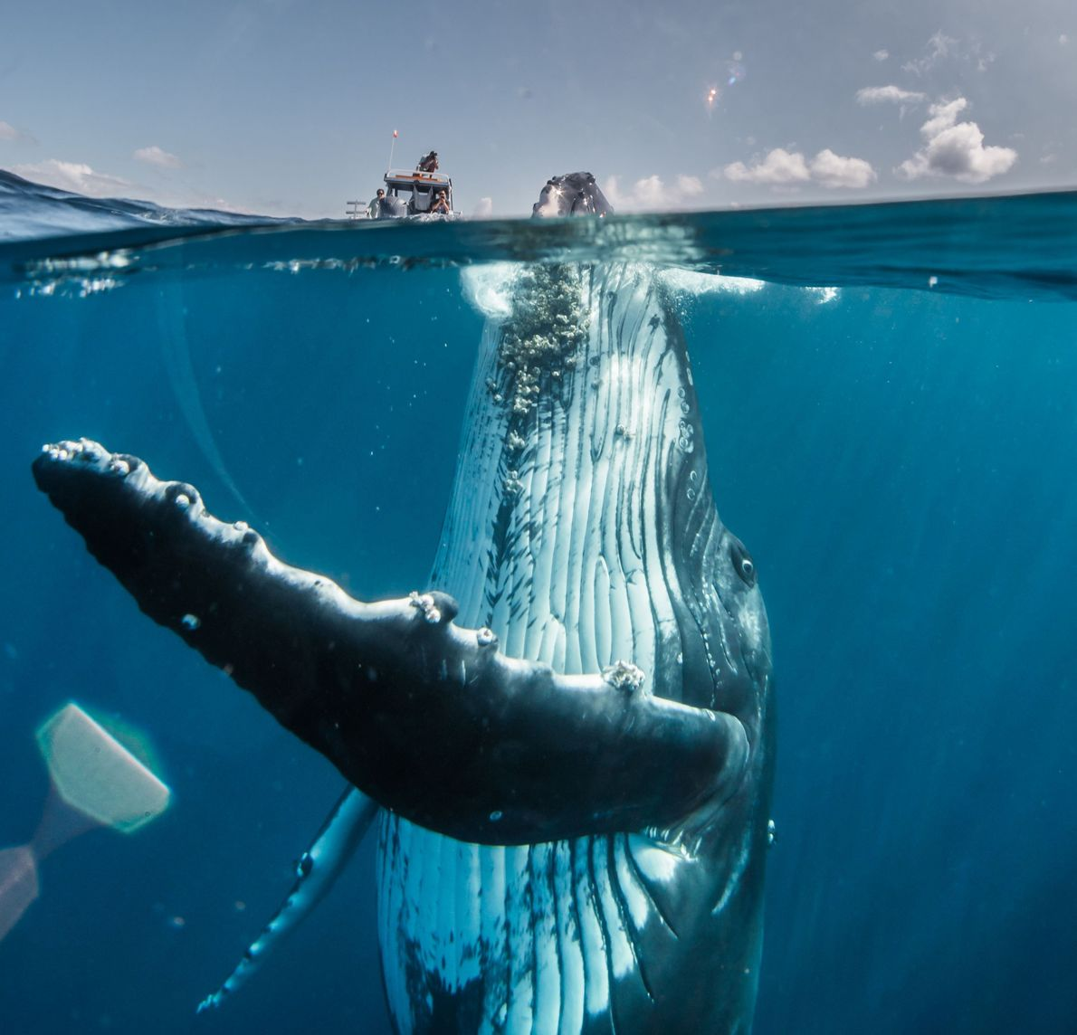Buckelwal vor einem Boot