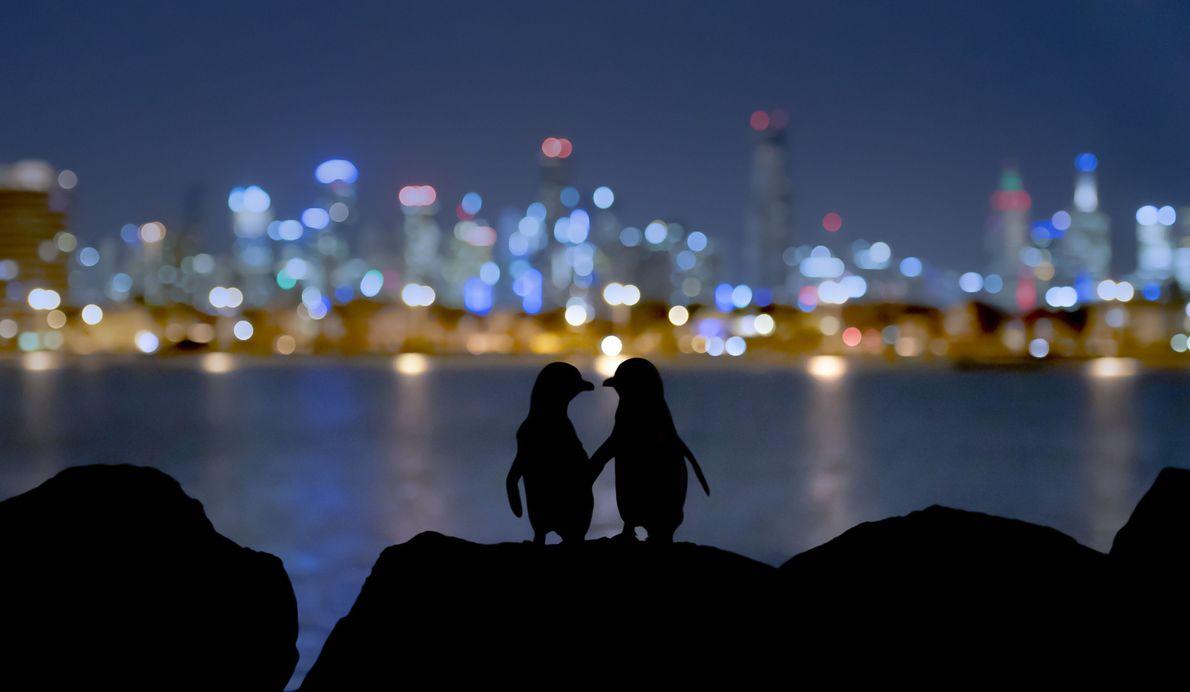 Pinguinkolonie in Melbourne, Australien