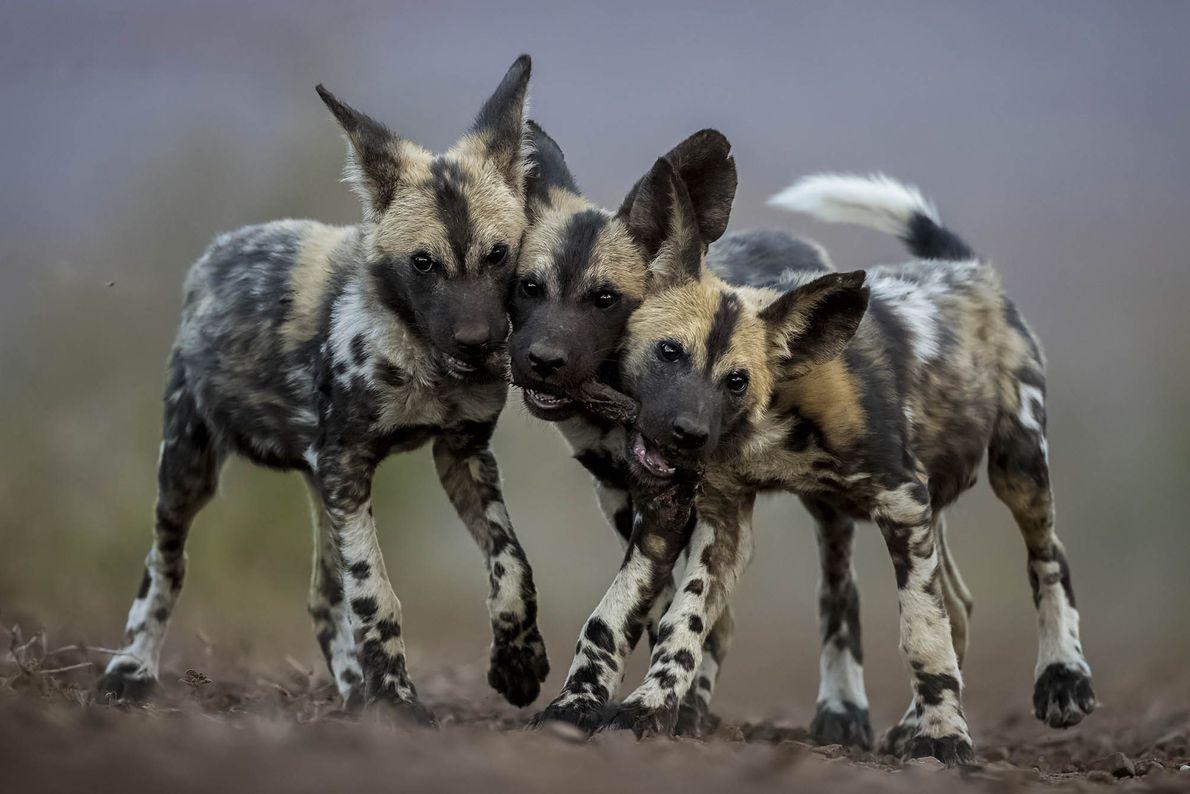 Drei Afrikanische Wildhundewelpen spielen zusammen in Mkuze in Südafrika. Als Spielzeug muss das Bein einer glücklosen ...