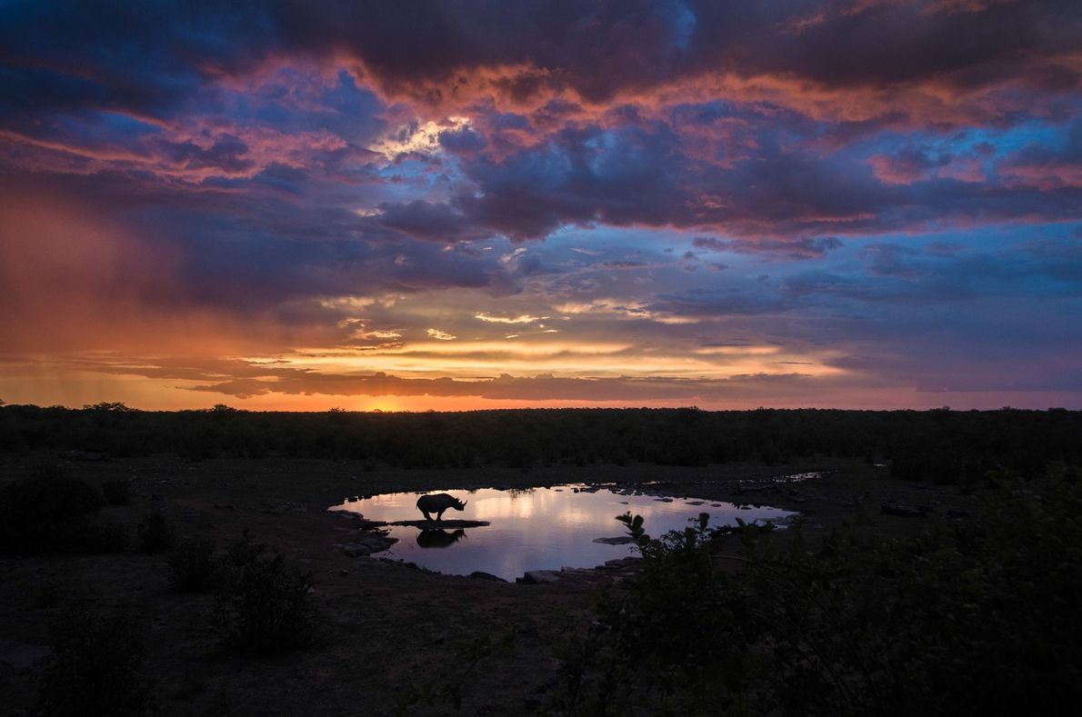 Nashorn am Wasserloch im Etosha-Nationalpark