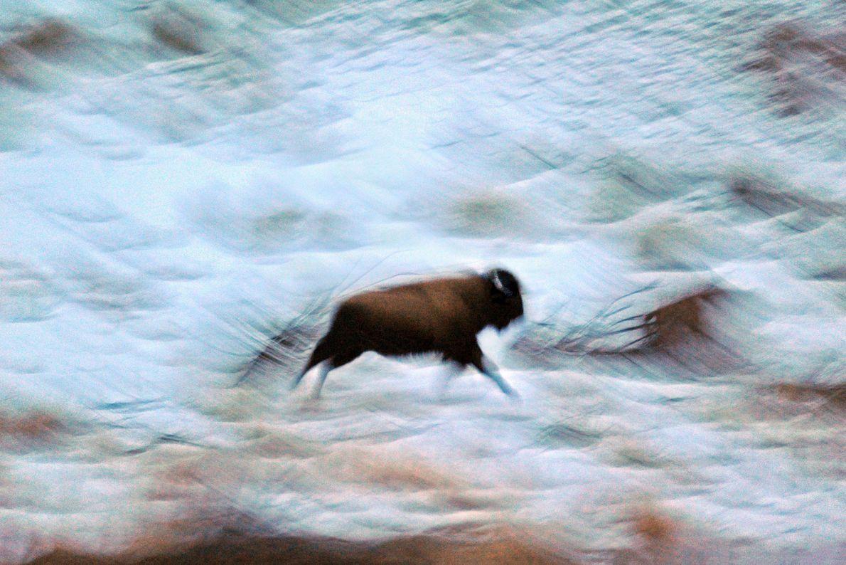 Ein Bison im winterlichen Yellowstone-Nationalpark