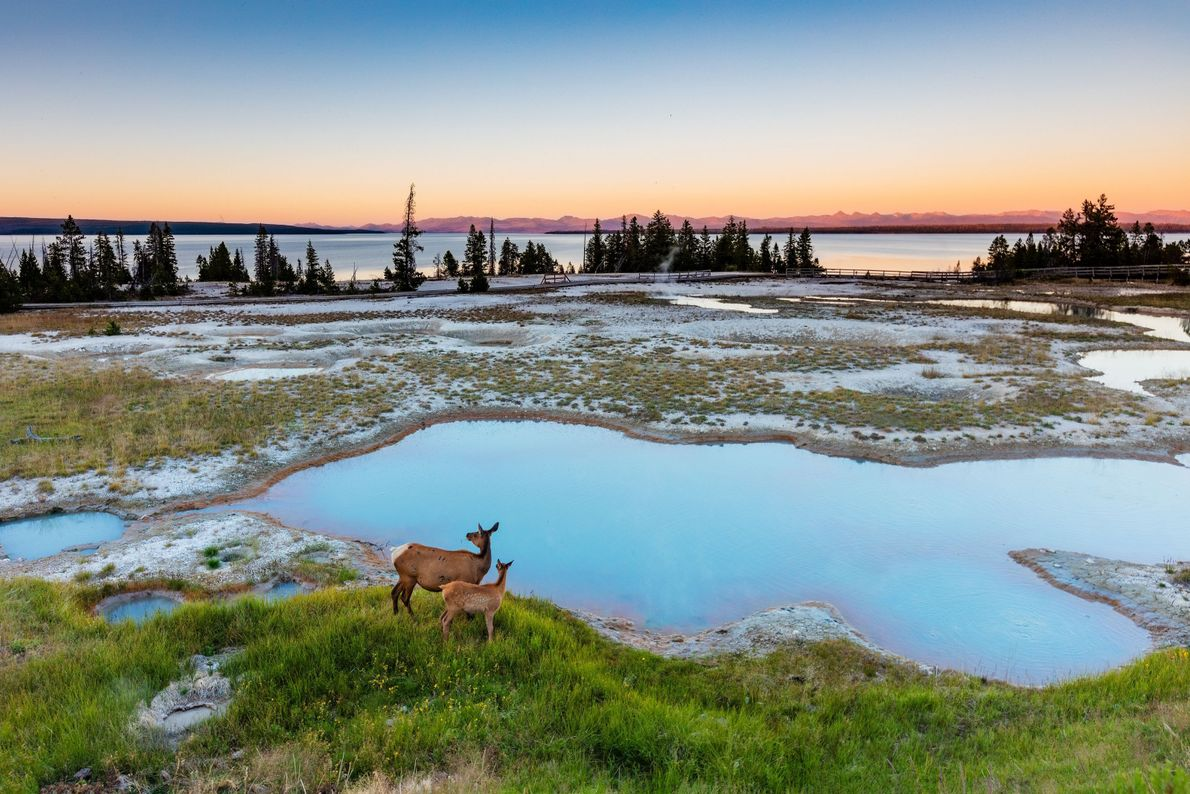 Eine Hirschkuh mit Kalb bei Sonnenaufgang im Yellowstone-Nationalpark