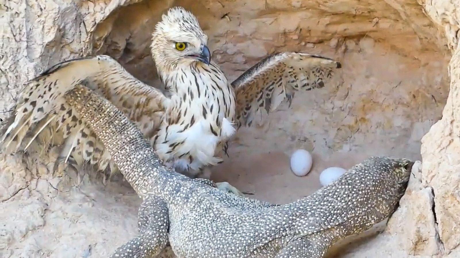Adler gehören zu den Tieren, die in den gestellten Rettungsvideos oft als Angreifer dargestellt werden.