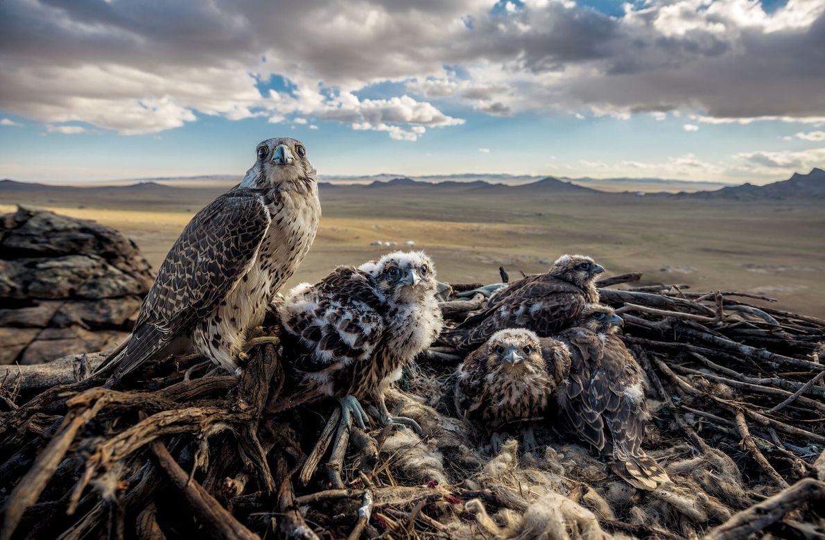 Ein weiblicher Würgfalke bewacht seine Küken mit Blick auf die mongolische Ebene.