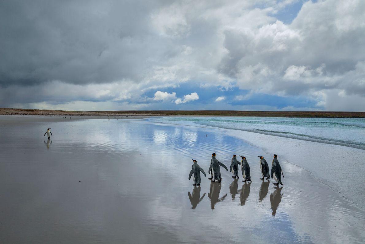 Königspinguine flanieren auf dem weißen Sand von Volunteer Point auf der Insel East Falkland.