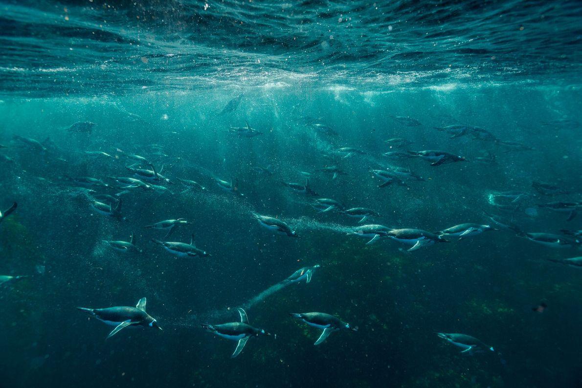 Eselspinguine sind mit 35 km/h die schnellsten Schwimmer unter den Vögeln.