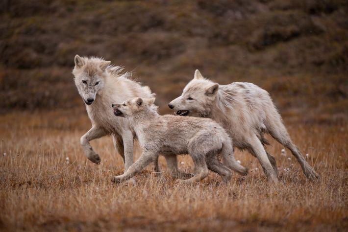 Nach der Mahlzeit wird gespielt. Zwei einjährige Wölfe ärgern einen der Welpen. Durch solche Spiele lernen ...