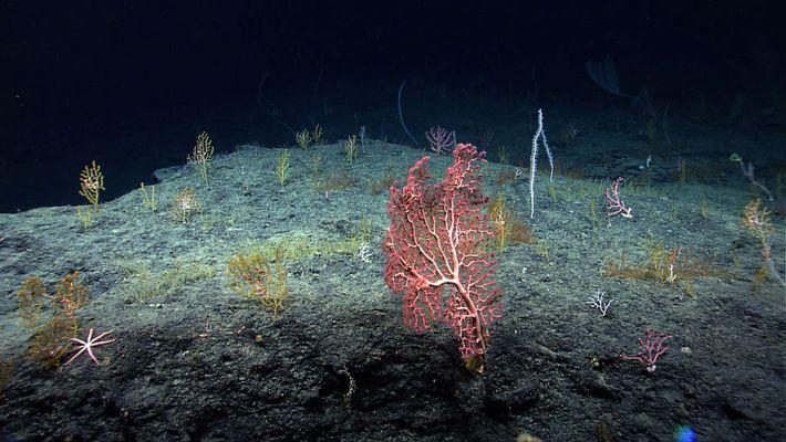 Tiefseekorallen im Golf von Mexiko – hier zu sehen sind Paragorgia arborea und Isididae – waren ...