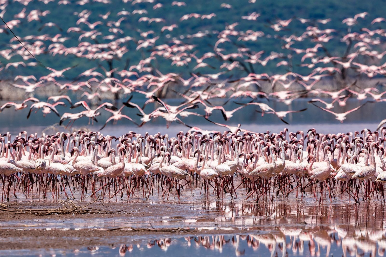 Flamingo Saison