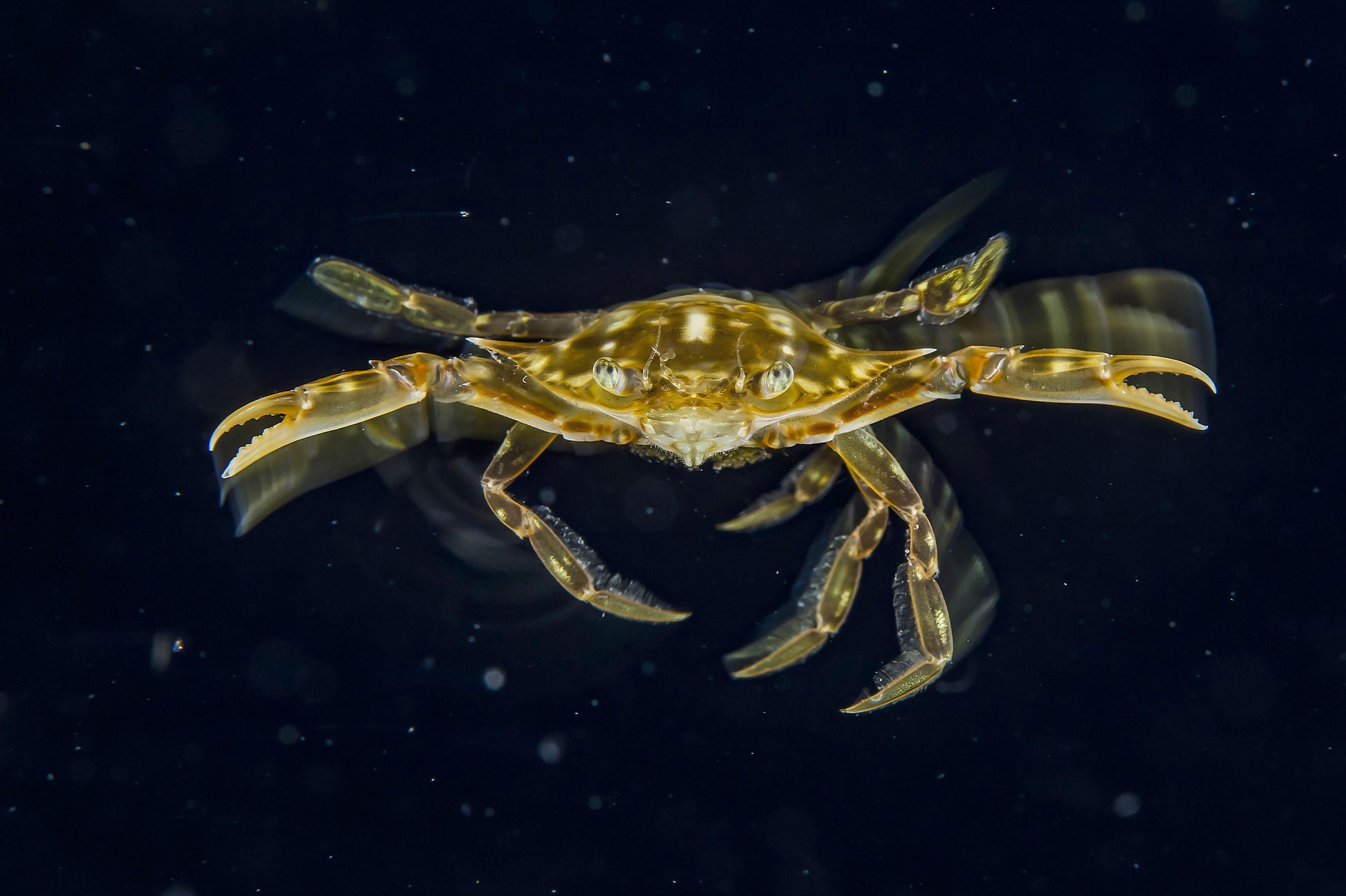 Krabbe voraus