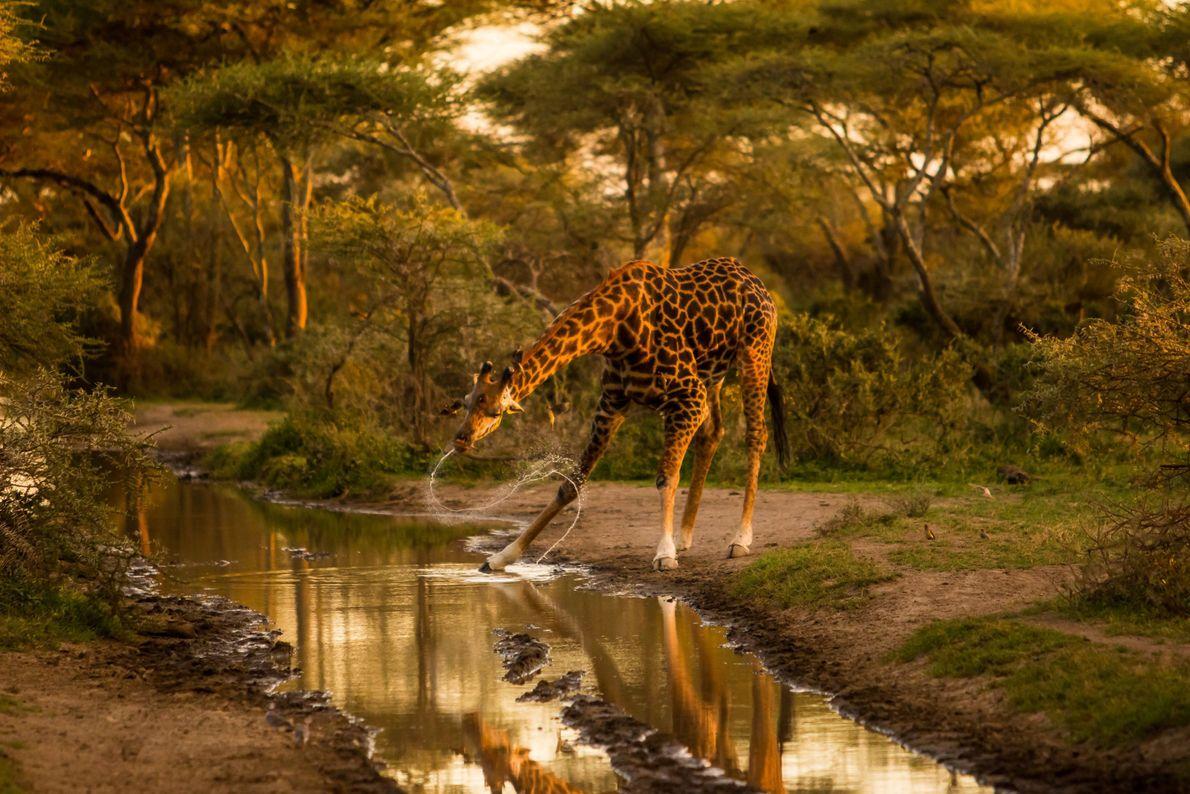Giraffe an Wasserstelle
