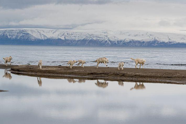 Auf der verzweifelten Suche nach Beute durchkämmt das Rudel den Greely Fjord nach Moschusochsen und Polarhasen. ...