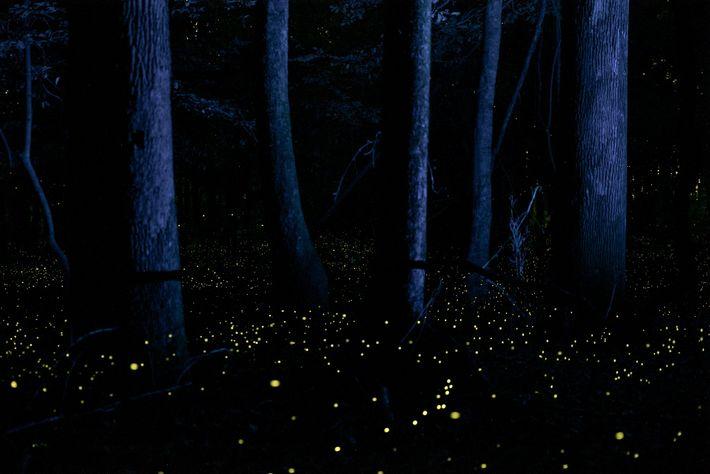 """""""Es ist absolut magisch, an einem milden Maiabend mit diesen Glühwürmchen im Park zu sein"""", sagt ..."""